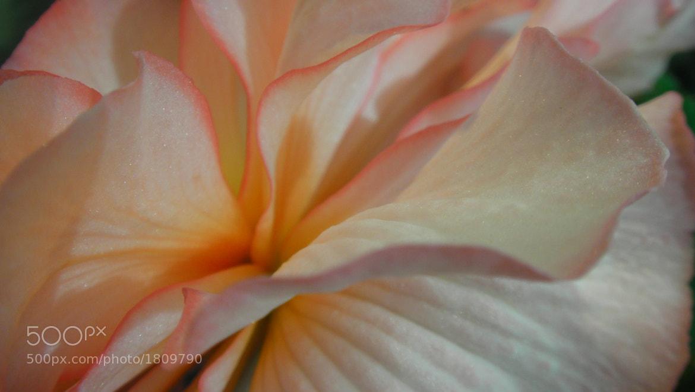 Photograph Petals. by dekunobou net on 500px