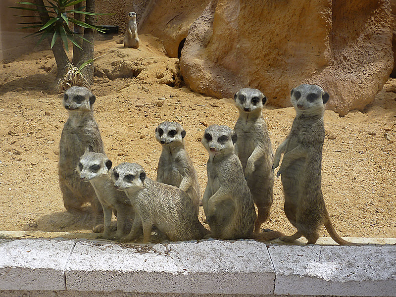 Photograph Meerkats by Michel L'HUILLIER on 500px