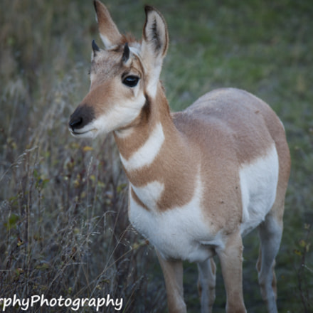 Young Pronghorn Antelope, Sony DSLR-A700, Tamron SP AF 70-200mm F2.8 Di LD IF Macro