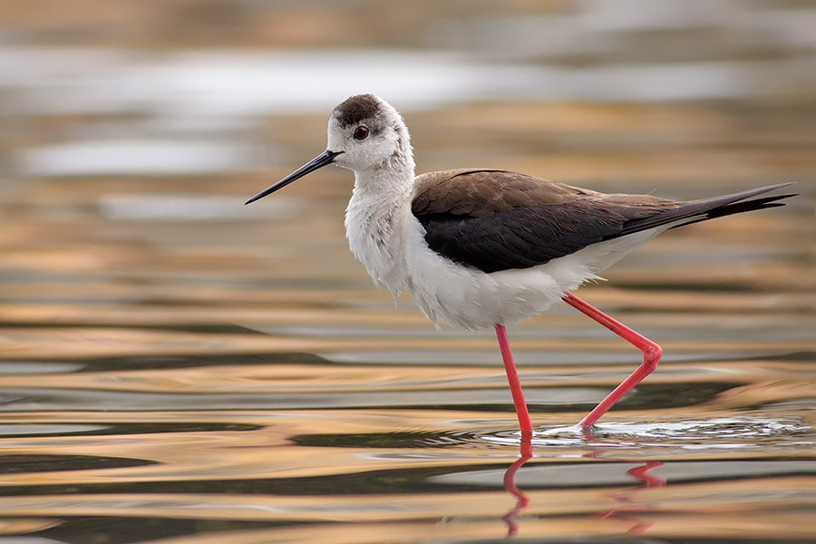 Photograph Black-winged Stilt by Stefano Tassano on 500px
