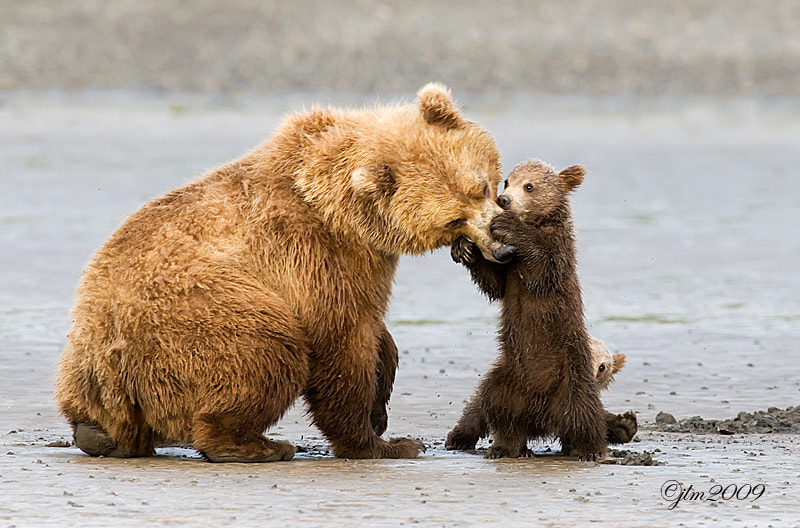 Two little grizzly cubs took time out to play with mom.