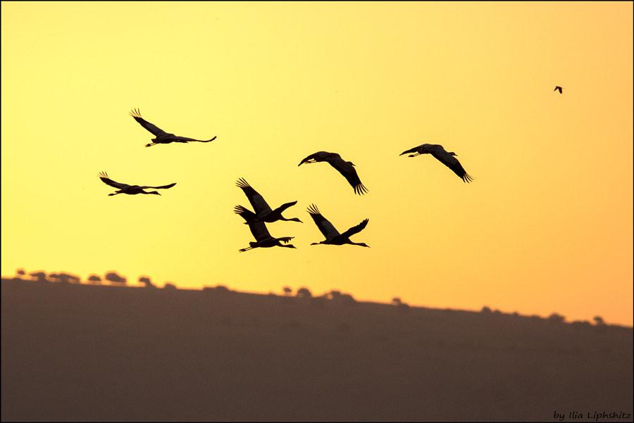 Morning cranes №13