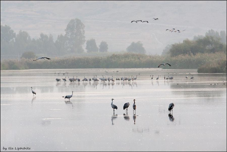 Morning cranes №14