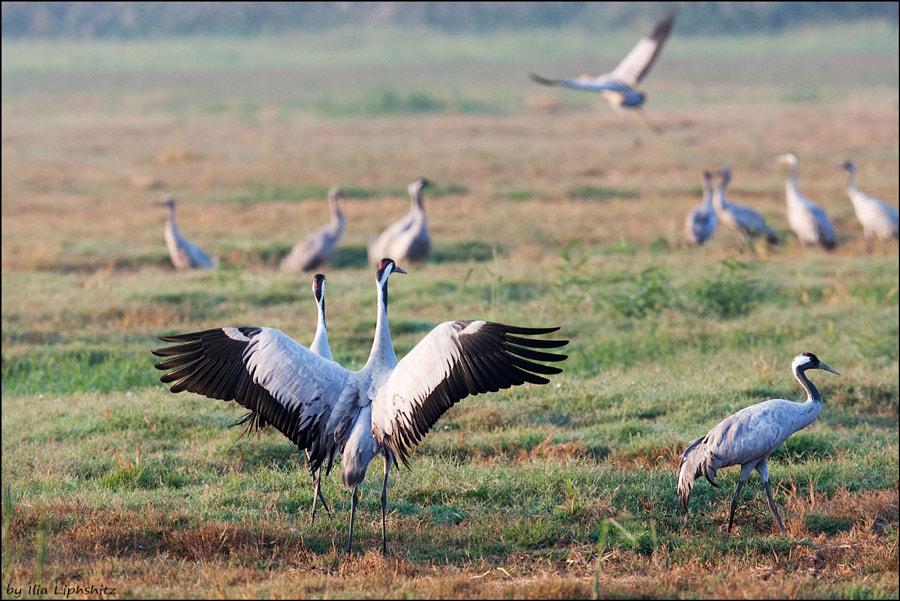 Morning cranes №15