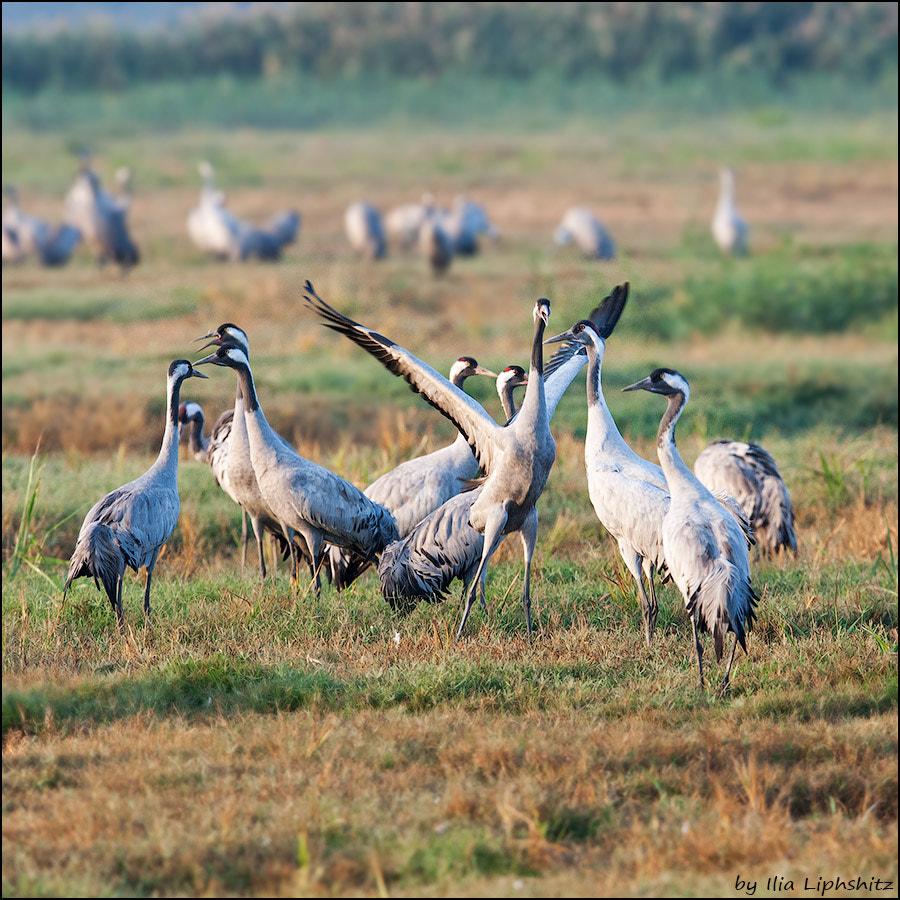 Morning cranes №16
