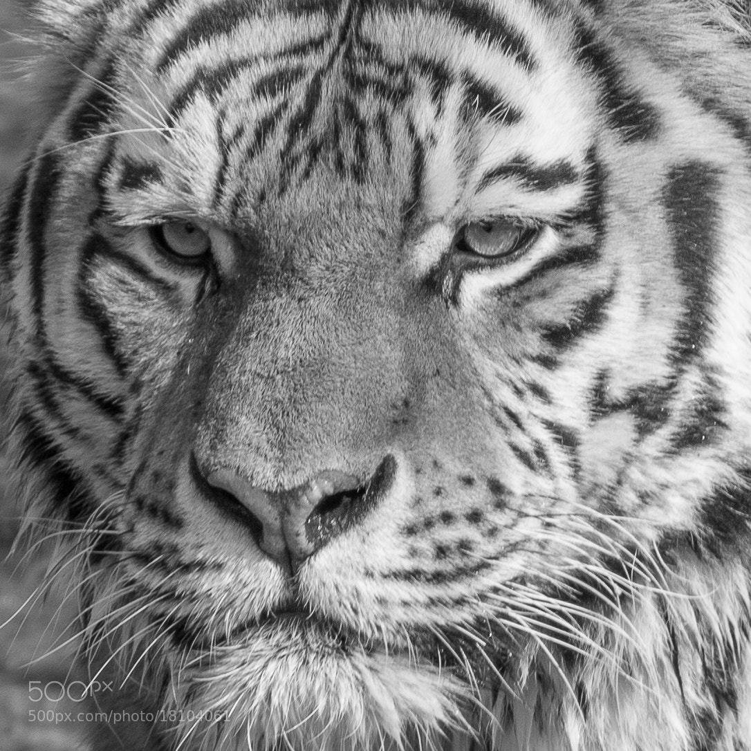 Photograph Tiger by Andreas Buchner on 500px