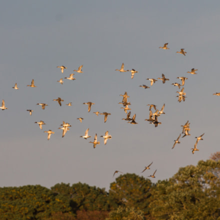 Flock of Northern Pintails, Canon EOS REBEL T3, Canon EF 100-400mm f/4.5-5.6L IS