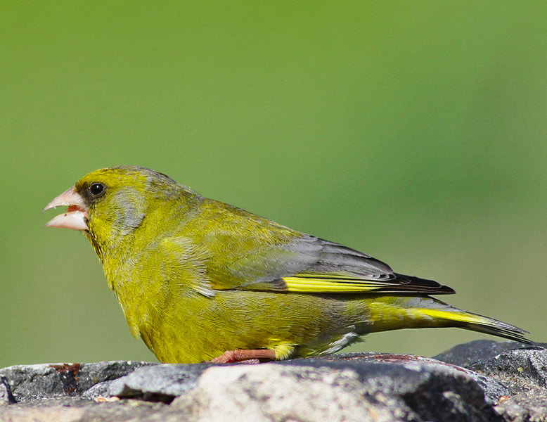 Photograph Verdilhão ....   Carduelis chloris by Jose Heitor on 500px