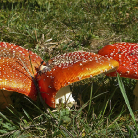 Fly agaric, Panasonic DMC-LX1