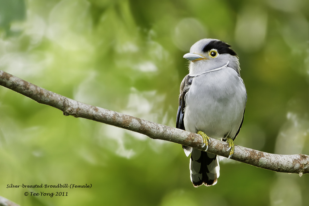 Photograph Silver-breasted Broadbill (Female) by TeeYong on 500px