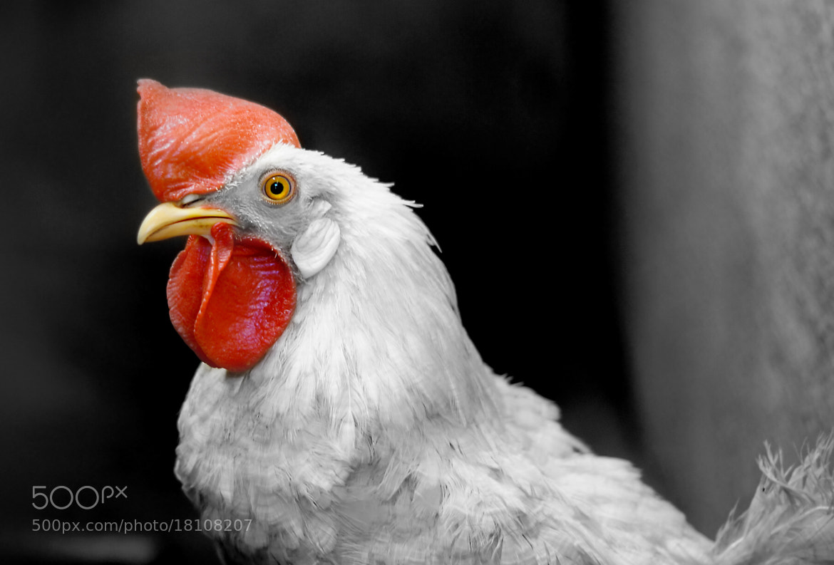 Photograph Rooster by Gopal Mohan on 500px