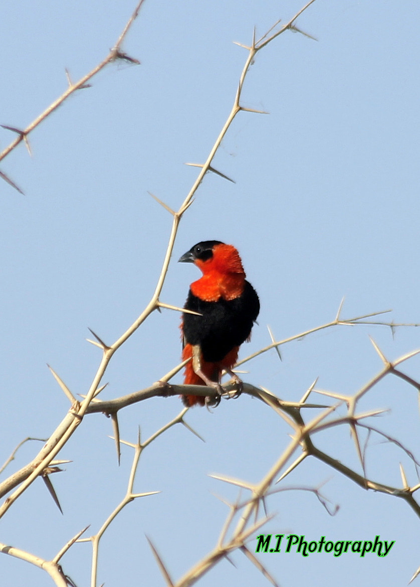 Photograph Northern Red Bishop by Mohamed Ismael on 500px