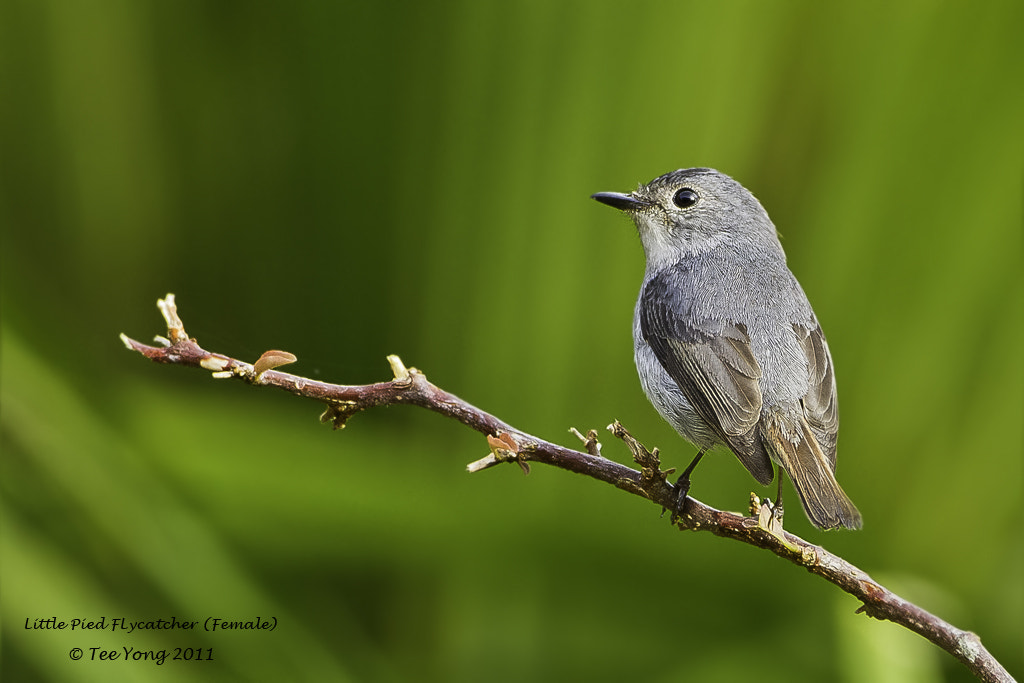 Photograph Little Pied Flycatcher by TeeYong on 500px