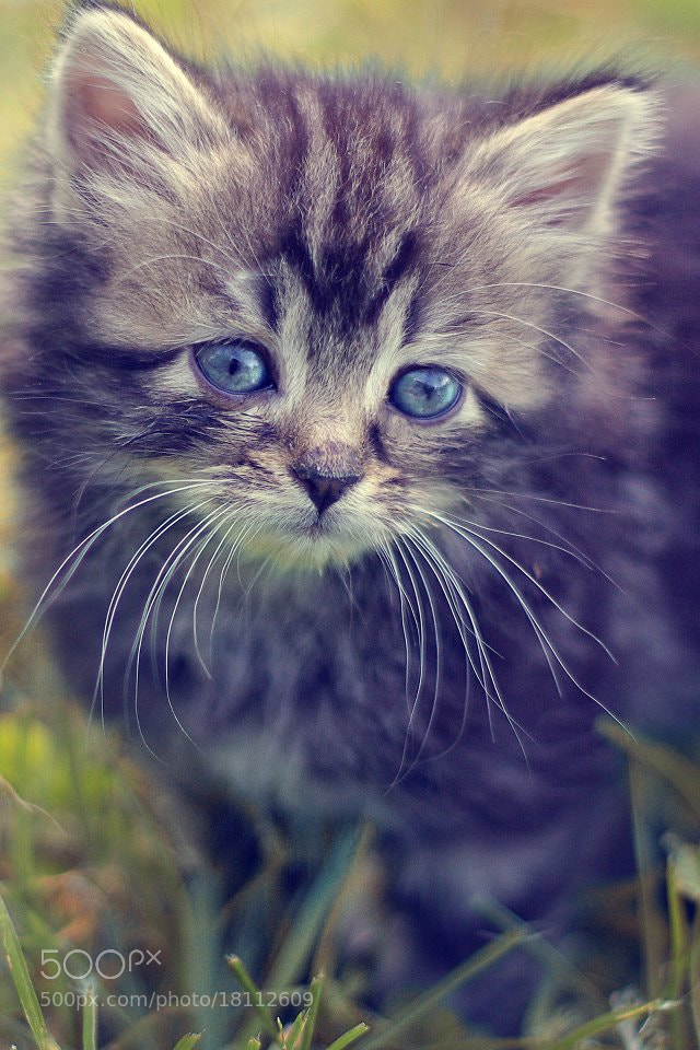 Photograph Cat's portrait by Marine Minoushka on 500px