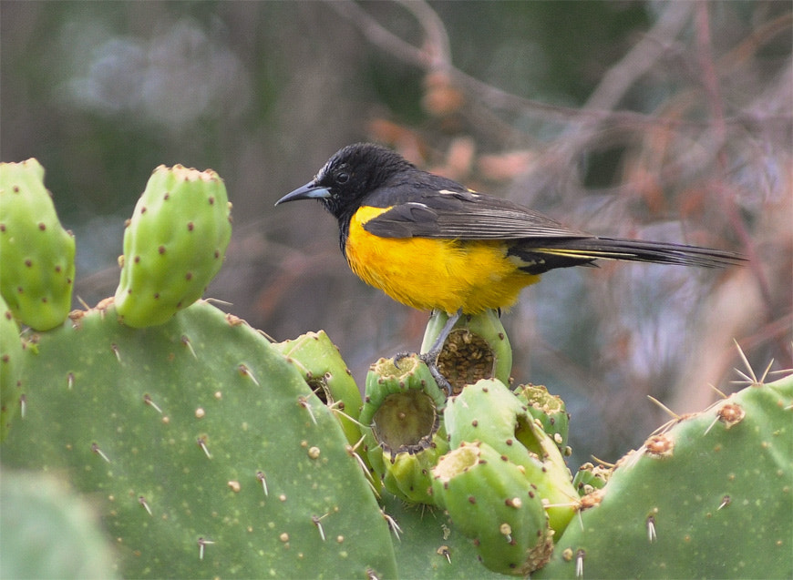 Photograph Scott's Oriole. by Luis Jaime Leal on 500px