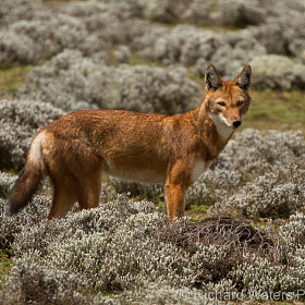 Ethiopian Wolf by Richard Waters (RichardWaters)) on 500px.com