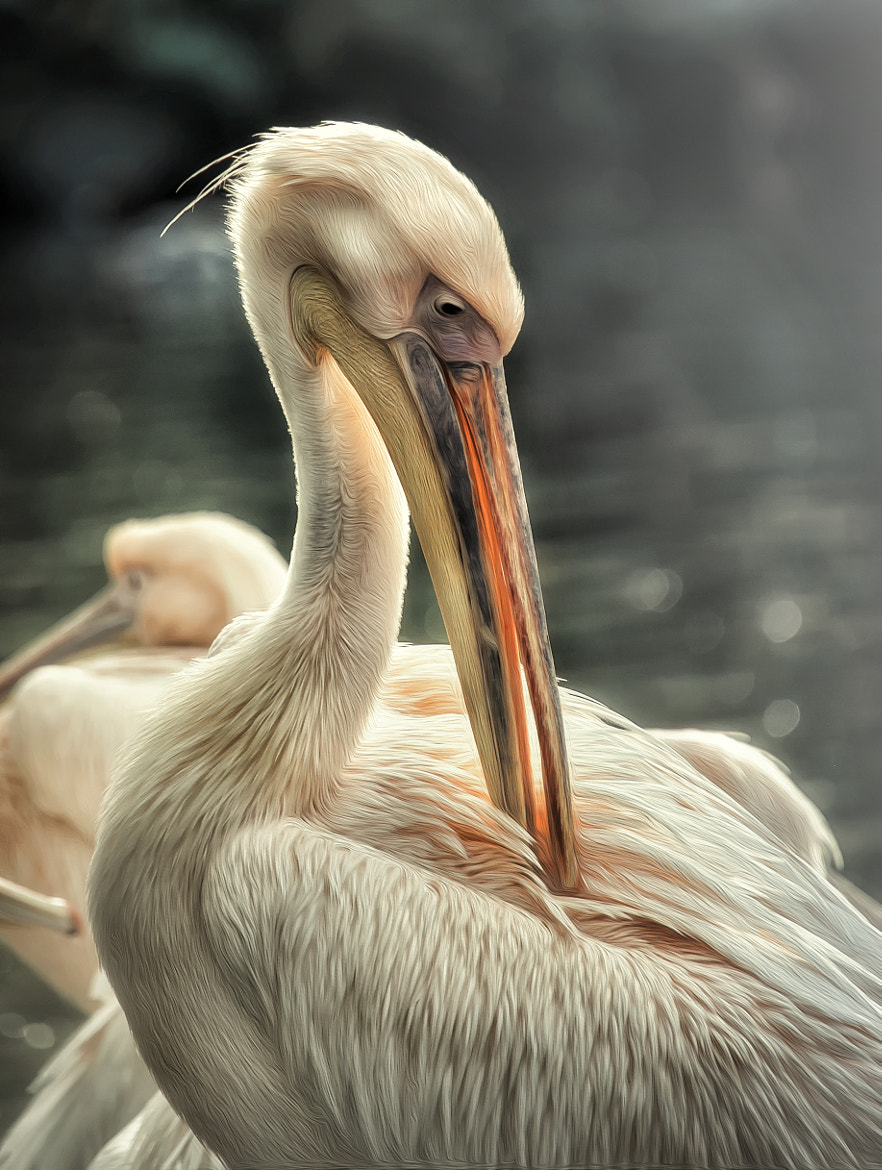 Photograph pelican by Detlef Knapp on 500px