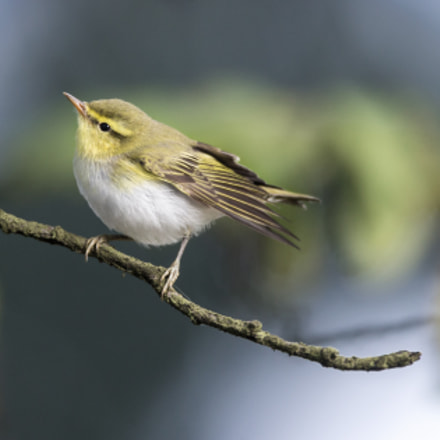 Wood warbler, Canon EOS-1D X, Canon EF 600mm f/4L IS + 1.4x