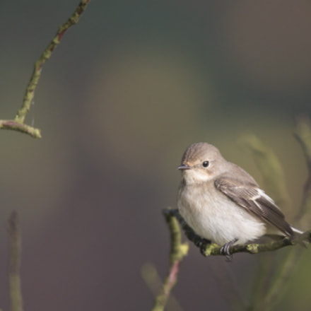 Pied flycatcher, Canon EOS-1D X, Canon EF 600mm f/4L IS + 1.4x