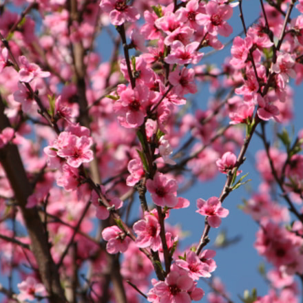 Cherry Tree, Canon EOS 400D DIGITAL, Tamron AF 28-300mm f/3.5-6.3 XR LD Aspherical [IF] Macro