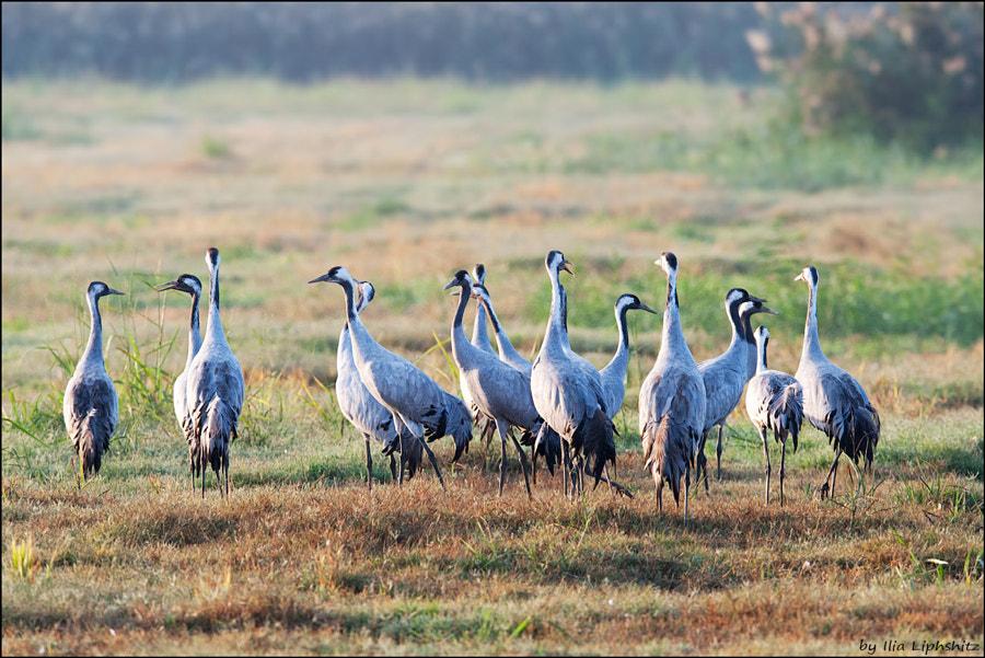 Morning cranes №17