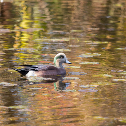 American Wigeon, Canon EOS REBEL T3, Canon EF 100-400mm f/4.5-5.6L IS