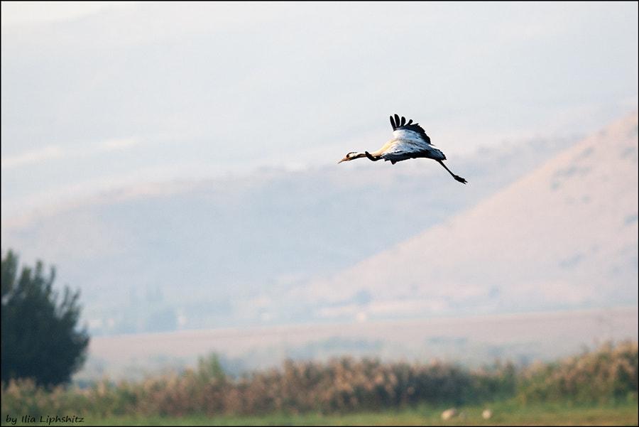 Morning cranes №18