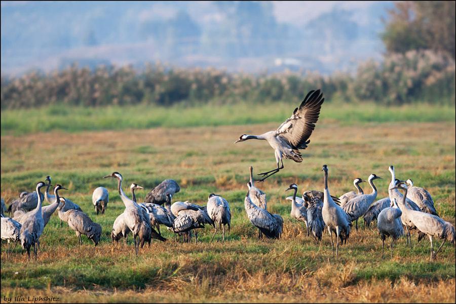 Morning cranes №19