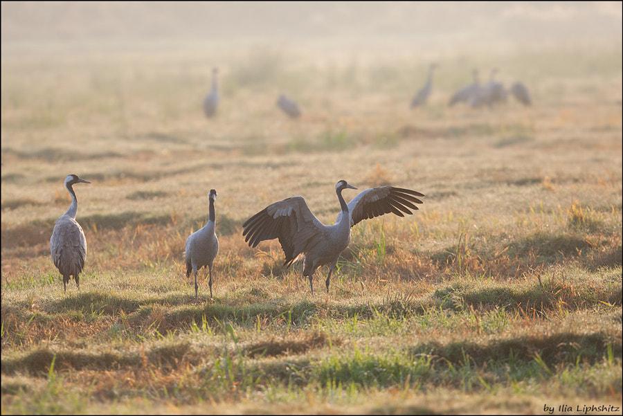 Morning cranes №20