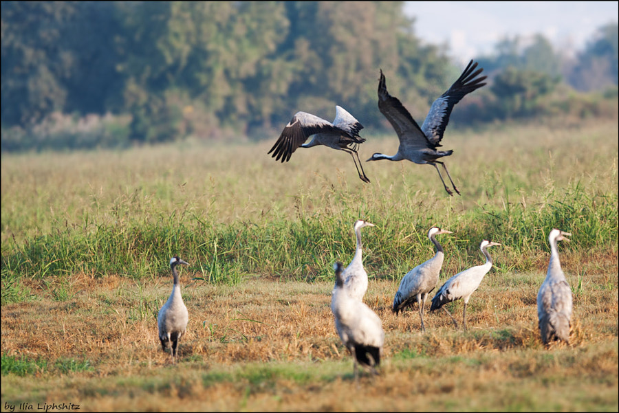 Morning cranes №21