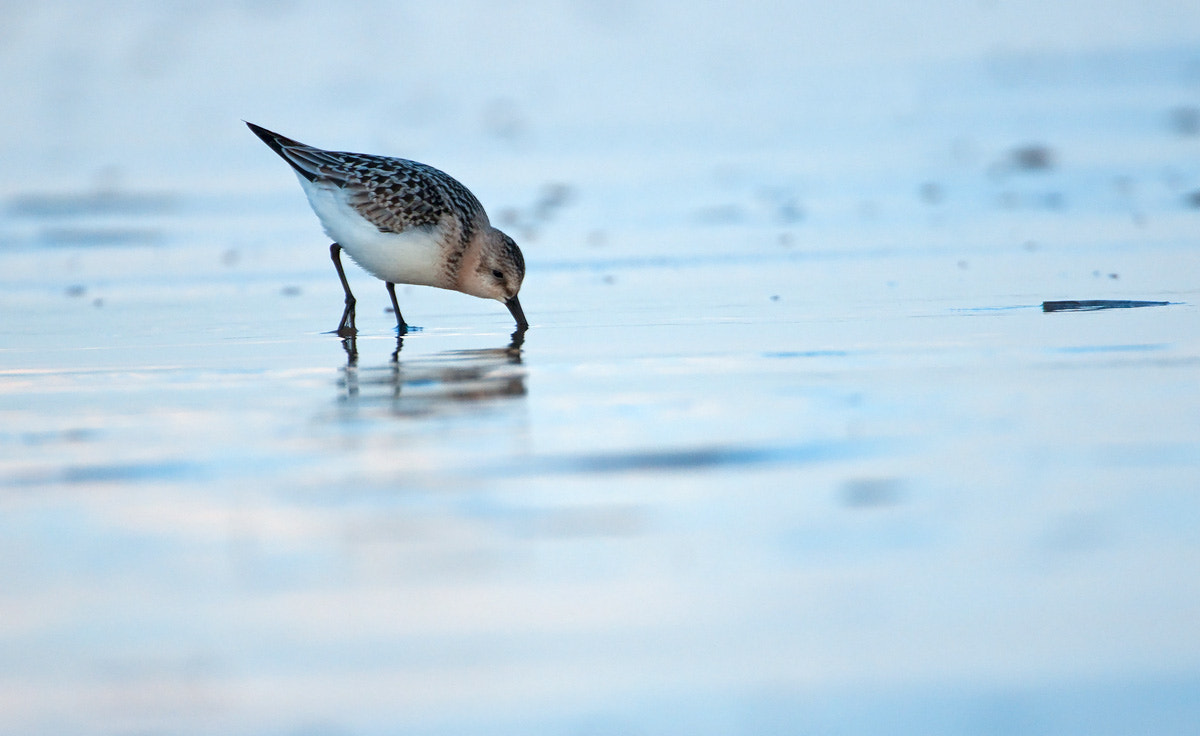 Photograph Sanderling by Oscar Dewhurst on 500px