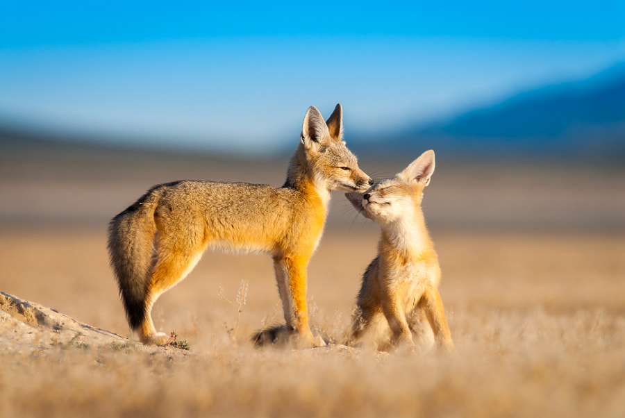 Kit Fox Pups by Jason Sims on 500px.com