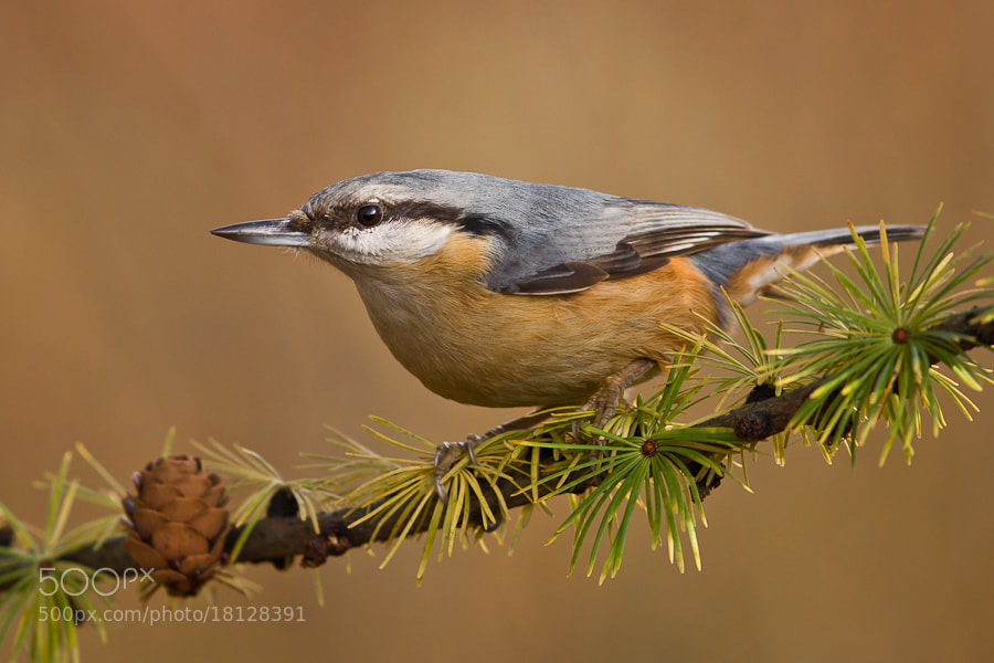 Photograph Nuthatch - Sitta europaea by Felix de Vega on 500px
