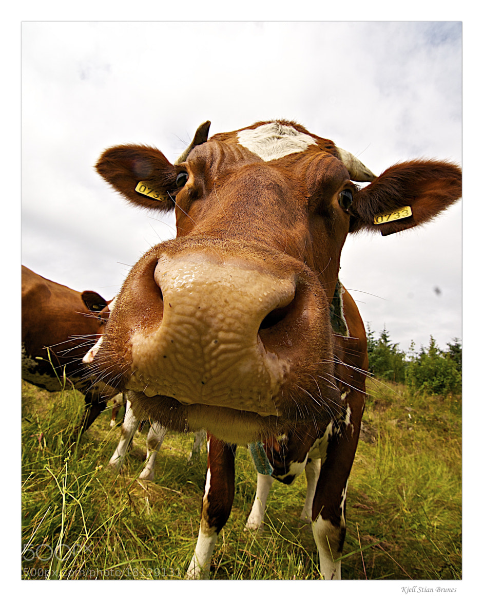 Photograph Cow by Kjell Stian Brunes on 500px
