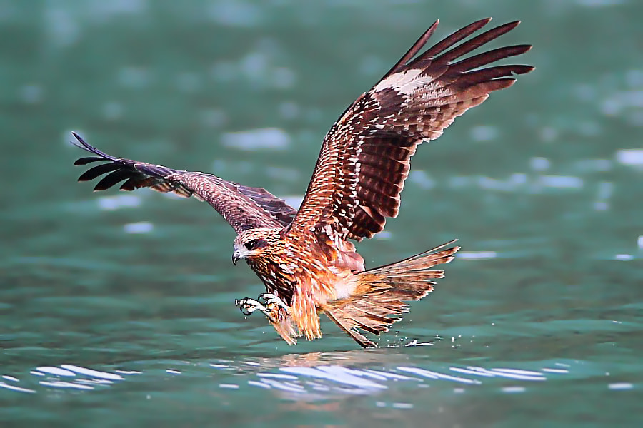 Photograph Black Kite by Dajan Chiou on 500px