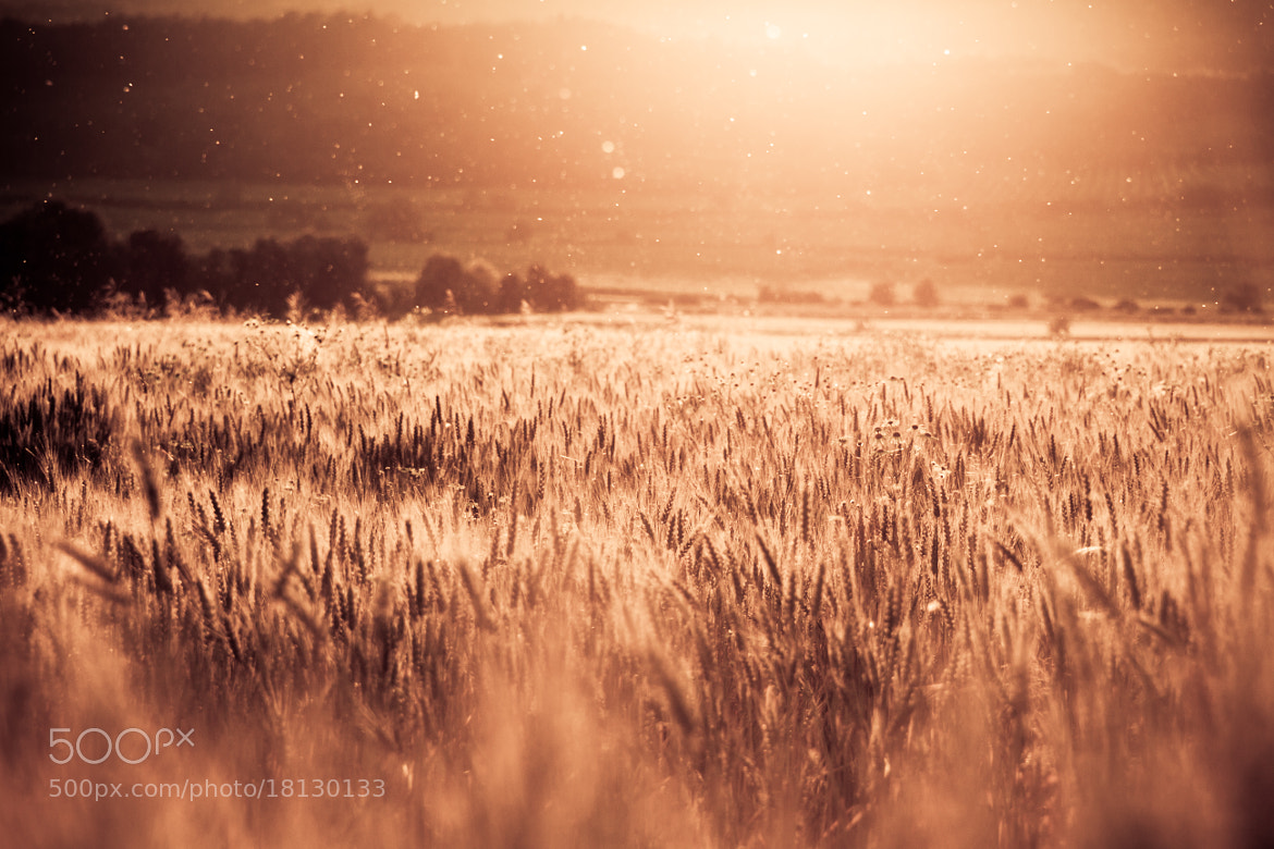 Photograph Fields of Gold by Florian Wardell on 500px