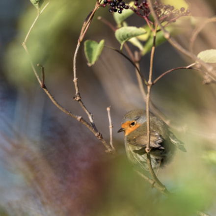 A shy robin, Canon EOS-1D X, Canon EF 600mm f/4L IS