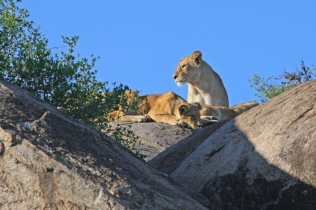 Photograph Lions on the top by Pelle Kjorling on 500px