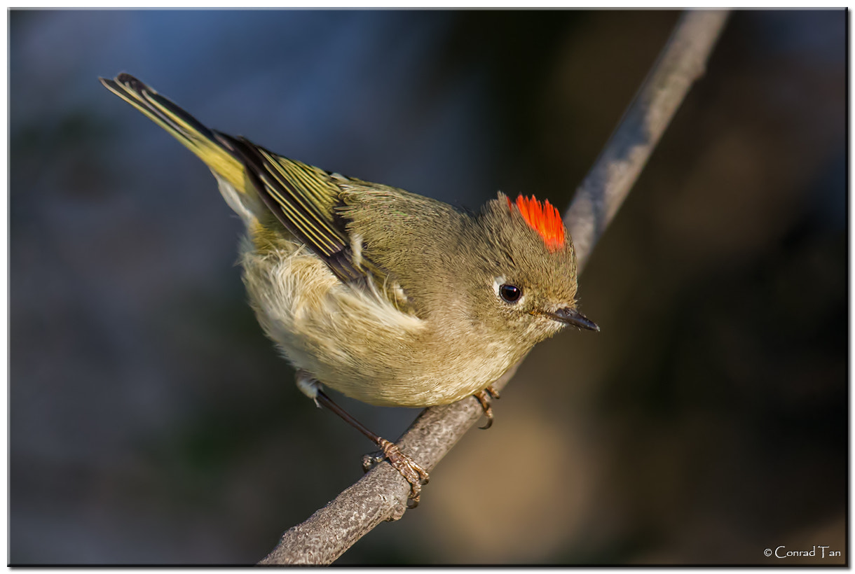 Photograph Ruby Crowned Kinglet by Conrad Tan on 500px