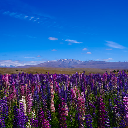 Southern Alps and Lupine, Canon EOS KISS DIGITAL N