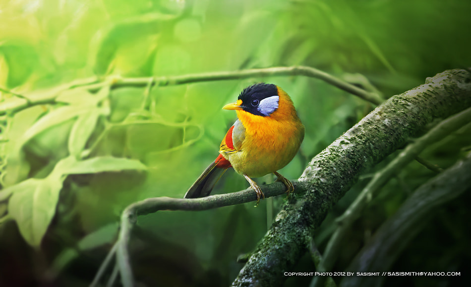 Photograph Silver-eared Mesia by Sasi - smit on 500px