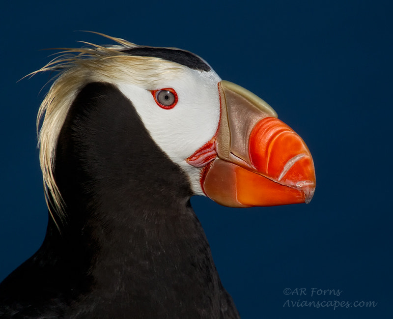 Photograph Tufted Puffin by Alfred Forns on 500px