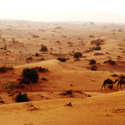 Desert Camels early morning, Fujifilm FinePix S5700 S700