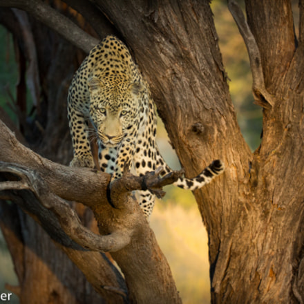 Leopard in the tree, Canon EOS 5D MARK III, Canon EF 200-400mm f/4L IS USM