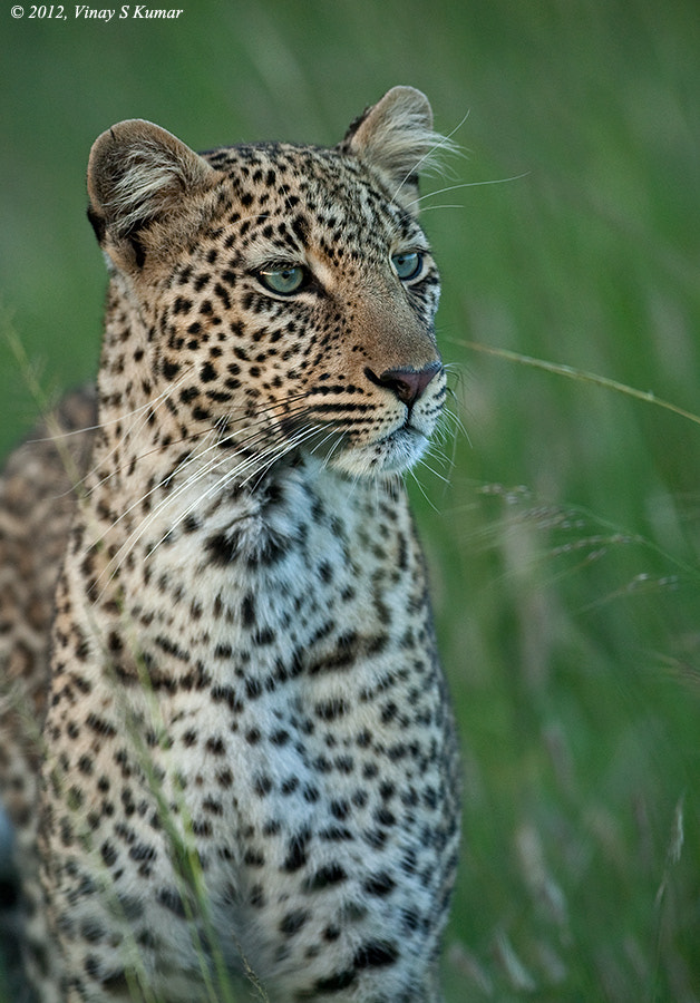 Photograph Leopard by Vinay  S Kumar on 500px