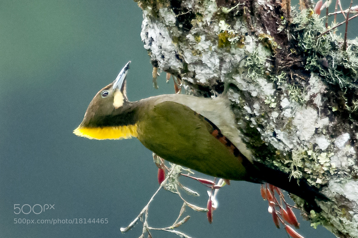 Photograph  Greater Yellownape Woodpecker by Allan Seah on 500px