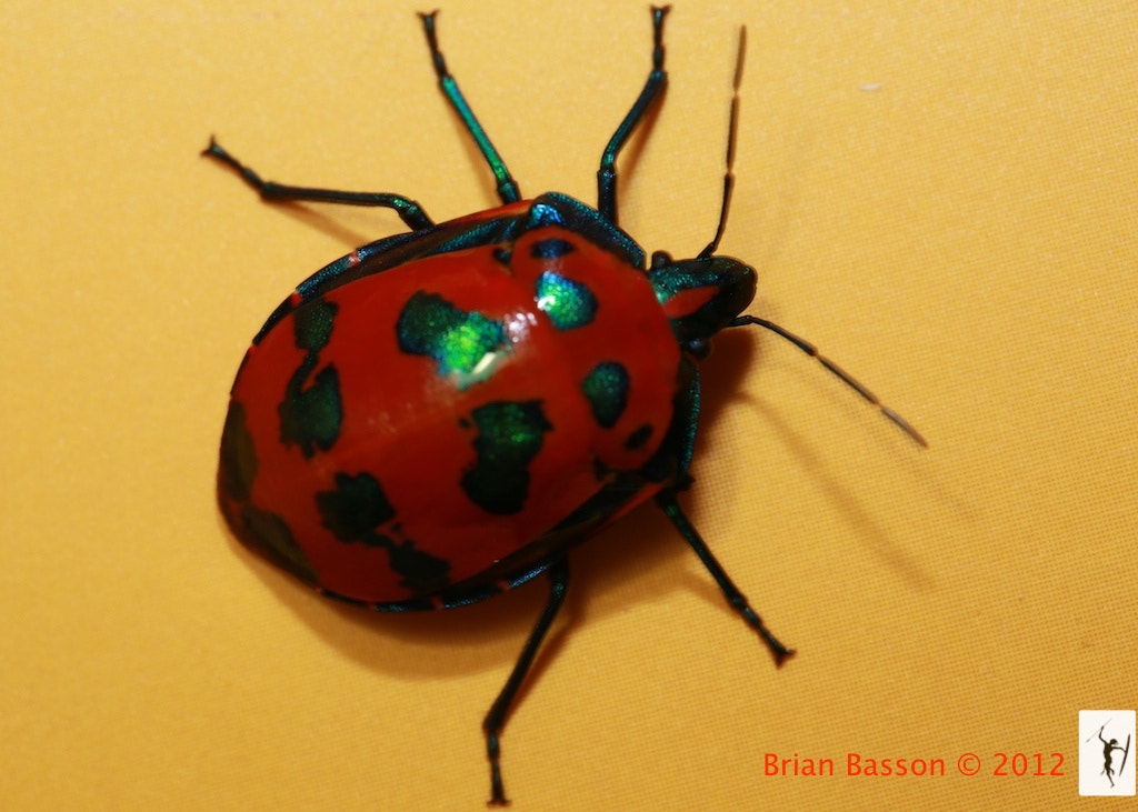 Photograph Hibiscus Harlequin Beetle by Brian Basson on 500px