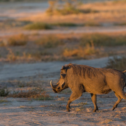 Warthog on the run, Canon EOS 5D MARK III, Canon EF 200-400mm f/4L IS USM