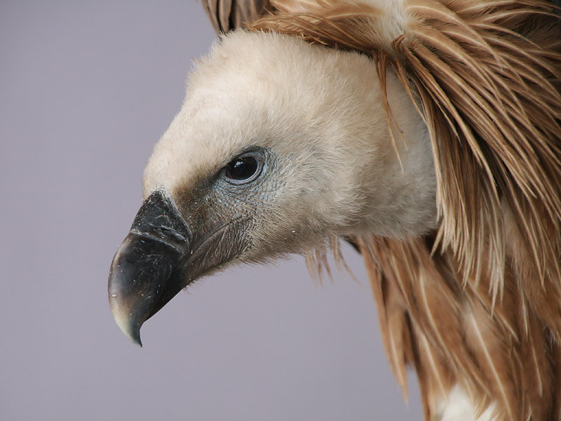 Photograph Vulture Portrait by Aat Bender on 500px