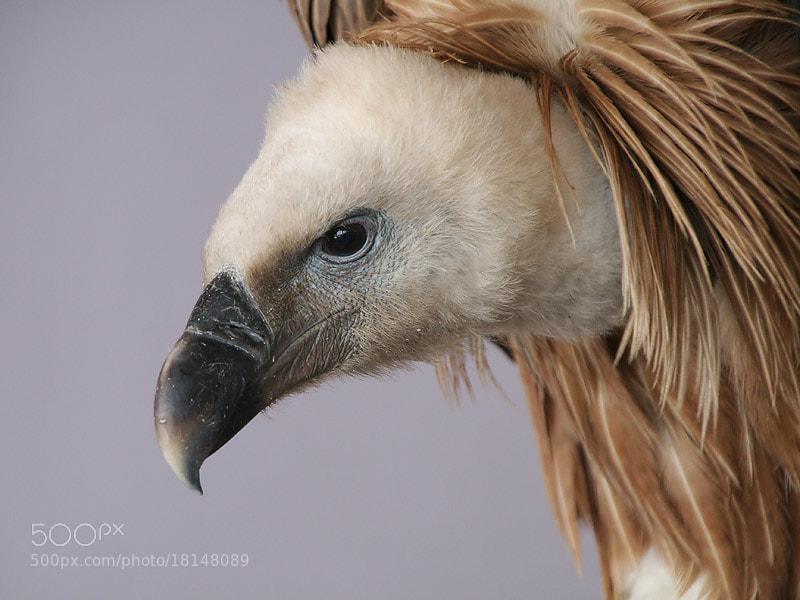 Photograph Vulture Portrait by Aat Bender on 500px